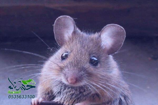 شركة مكافحة فئران بالمدينة المنورة, شركة مكافحة الفئران بالمدينة المنورة, مكافحة فئران بالمدينة المنورة, افضل شركة مكافحة فئران بالمدينة المنورة